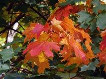Paesaggio con le foglie luminose di rosso di grande autunno Immagini Stock Libere da Diritti