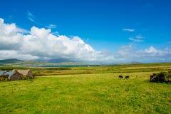 Paesaggio con le mucche alla costa dell'Irlanda Immagini Stock