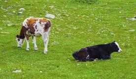 Paesaggio con le mucche nella montagna Immagine Stock