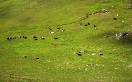Paesaggio con le mucche nella montagna Fotografia Stock