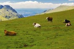 Paesaggio con le mucche nella montagna Immagini Stock