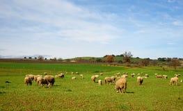 Paesaggio con le pecore Fotografia Stock Libera da Diritti