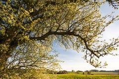 Paesaggio con un albero di fioritura Immagini Stock