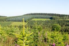 Paesaggio con una piantagione del pino Fotografie Stock Libere da Diritti