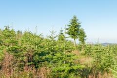Paesaggio con una piantagione del pino Fotografia Stock