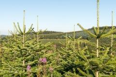 Paesaggio con una piantagione del pino Immagini Stock Libere da Diritti