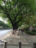 Paesaggio degli alberi del bordo della strada nella città Immagine Stock