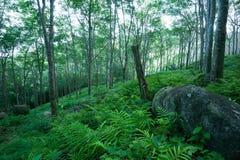 Paesaggio degli alberi forestali. Piantagione dell'albero di gomma Fotografia Stock