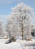 Paesaggio degli alberi gelidi, neve bianca di inverno nel parco della città Alberi coperti di neve Immagini Stock