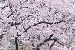 Paesaggio dei fiori di ciliegia bianchi giapponesi Fotografia Stock Libera da Diritti