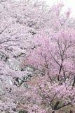 Paesaggio dei fiori di ciliegia bianchi giapponesi Fotografie Stock
