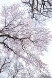 Paesaggio dei fiori di ciliegia bianchi giapponesi Fotografia Stock