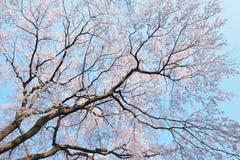 Paesaggio dei fiori di ciliegia bianchi giapponesi Immagini Stock Libere da Diritti
