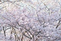 Paesaggio dei fiori di ciliegia bianchi giapponesi Immagine Stock