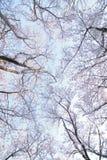 Paesaggio dei fiori di ciliegia bianchi giapponesi Immagine Stock Libera da Diritti