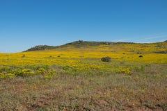 Paesaggio dei fiori gialli su una cima della collina lungo la costa ovest del Sudafrica Immagine Stock