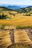 Paesaggio dei giacimenti raccolti del riso Immagine Stock