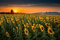 Paesaggio dei girasoli che fioriscono in The Field , Bella scena di agricoltura che coltiva sul fondo della catena montuosa al tr fotografia stock libera da diritti