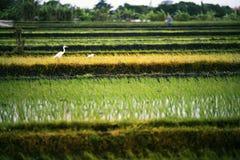 Paesaggio dei terrazzi del riso Fotografie Stock Libere da Diritti