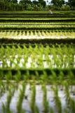Paesaggio dei terrazzi del riso con un agricoltore Immagine Stock Libera da Diritti