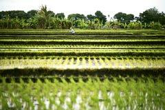 Paesaggio dei terrazzi del riso con un agricoltore Fotografie Stock Libere da Diritti