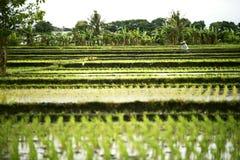 Paesaggio dei terrazzi del riso con un agricoltore Fotografia Stock Libera da Diritti
