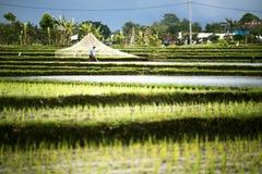Paesaggio dei terrazzi del riso con un agricoltore Immagini Stock