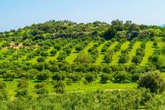 Paesaggio del boschetto di olivo nell'isola Mediterranea di Creta, Grecia Fotografia Stock