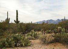 Paesaggio del cactus Fotografie Stock Libere da Diritti