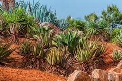 Paesaggio del cactus Cactus Messico Giacimento del cactus Giardino di Cactoo Ca Fotografie Stock Libere da Diritti