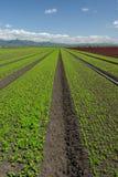 Paesaggio del campo della lattuga: Verticale verde Fotografie Stock Libere da Diritti