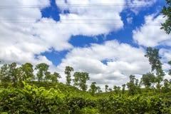 Paesaggio del campo della località di soggiorno del tè in Moulovibazar, Bangladesh Immagine Stock