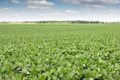 Paesaggio del campo della soia Fotografie Stock