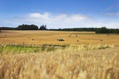 Paesaggio del campo di mais con i haybales Fotografia Stock