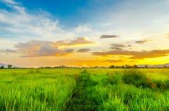 Paesaggio del campo di mais e del campo verde con il tramonto sull'azienda agricola, Fotografia Stock