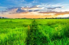 Paesaggio del campo di mais e del campo verde con il tramonto sull'azienda agricola, Fotografie Stock