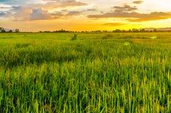 Paesaggio del campo di mais e del campo verde con il tramonto sull'azienda agricola, Immagini Stock Libere da Diritti