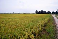 Paesaggio del campo di risaia Immagine Stock Libera da Diritti