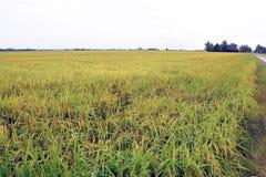 Paesaggio del campo di risaia immagini stock