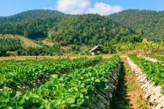 Paesaggio del campo organico di agricoltura Immagine Stock Libera da Diritti
