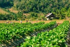 Paesaggio del campo organico di agricoltura Fotografie Stock Libere da Diritti