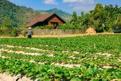 Paesaggio del campo organico di agricoltura Fotografia Stock