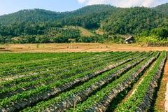 Paesaggio del campo organico di agricoltura Fotografie Stock