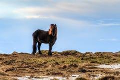 Paesaggio del cavallo dell'Islanda fotografia stock libera da diritti