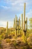 Paesaggio del deserto con i cactus del saguaro, parco nazionale del saguaro, Arizona sudorientale, Stati Uniti di Sonoran fotografia stock