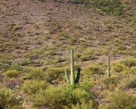 Paesaggio del deserto con il cactus del saguaro Immagini Stock Libere da Diritti