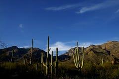 Paesaggio del deserto e cactus del Saguaro Fotografie Stock