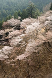 Paesaggio del fiore di ciliegia Fotografia Stock