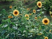 Paesaggio del fiore del girasole del ` s della Corea Fotografie Stock Libere da Diritti