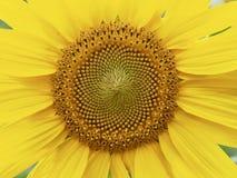 Paesaggio del fiore del girasole del ` s della Corea Fotografia Stock